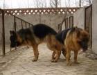 德牧,警犬纯正血统,懂行的看到狗你就明白了