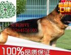 出售纯种德国牧羊犬幼犬德牧幼犬黑背德牧幼犬纯种