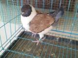 精品元宝鸽子出售 摩登那鸽子