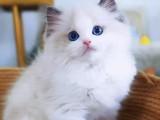 蕪湖出售各品種幼貓 成貓 出售