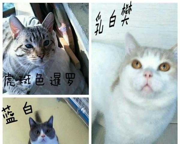 郑州汝河路 家养蓝猫 蓝白 折耳 暹罗