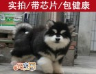东莞买阿拉斯加犬首选 正规狗场直销 巨型阿拉斯加犬