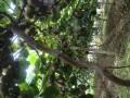 龙游晓溪红心猕猴桃采摘园