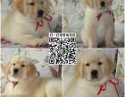 上海大型养殖基地繁殖 纯种健康金毛犬 导盲犬幼犬 签协议