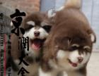 欢迎选购阿拉斯加犬信阳市京润犬舍出售