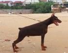 血统德系杜宾犬 杜宾幼犬,黑色杜宾犬 咖啡色杜宾