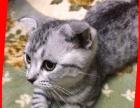 将一只可爱折耳猫给好心人哦
