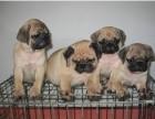 海口哪有巴哥犬卖 海口巴哥犬价格 海口巴哥犬多少钱