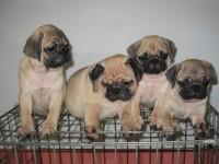 苏州养殖基地直销巴哥犬及其它幼犬 签协议 送用品