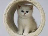 宠物猫咪活物金渐层英短银渐层布偶猫曼基康