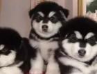 武汉狗狗之家长期出售高品质 阿拉斯加 售后无忧