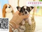 哪里的吉娃娃最便宜 哪里有纯种吉娃娃犬