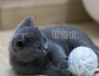 猫咪出售宠物摄影