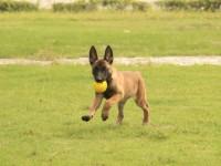 马犬多少钱一只,哪里出售血统马犬幼犬,成年马犬借配出售