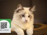 南阳哪里卖布偶猫 布偶猫价格 布偶猫哪里有卖