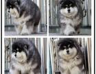 本地大型宠物繁殖基地上门挑选 巨型阿拉斯加雪橇犬