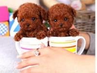 打折促销 800一只 武汉出售泰迪犬博美犬比熊 巴哥犬签协议
