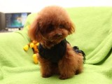 银川纯种贵宾犬大概多少钱一只 在银川什么地方能买到纯种贵宾犬
