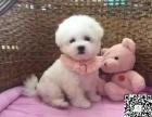 黑鼻头纽扣眼的卷毛比熊幼犬宝宝购买有保障
