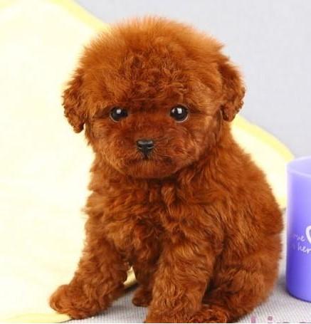 纯种茶杯玩具泰迪犬 品相好 颜色齐 签售后 包图片