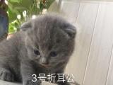 自家纯种猫猫 包子脸 可见爸妈
