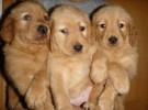 長期繁殖雙血統賽級金毛 各類純種名犬 簽協議