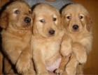 长期繁殖双血统赛级金毛 各类纯种名犬 签协议