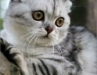 绍兴哪里有苏格兰折耳 高地折耳猫卖 疫苗已做保健康