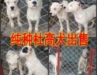 甘肃杜高犬图片