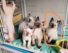 猫舍繁殖精品高品质暹罗热卖中欢迎选购!