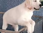 诚信犬舍 犬舍出售CKU认证拉布拉多等各类幼犬 放心选购