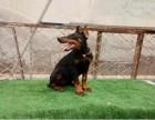 重庆本地出售纯种德系杜宾幼犬 哪吒血大骨量黑色和咖啡色两色
