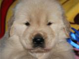 湖南张家界双血统金毛犬一般多少钱一只