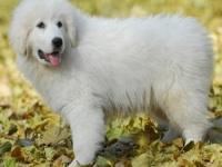 重庆犬舍出售雪兽系赛级大白熊幼犬骨骼大毛质好极品幼犬待售