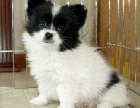 基地直销黄白花和黑白花蝴蝶犬幼犬 包健康纯种签协