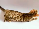 广东广州纯血孟加拉豹猫价格