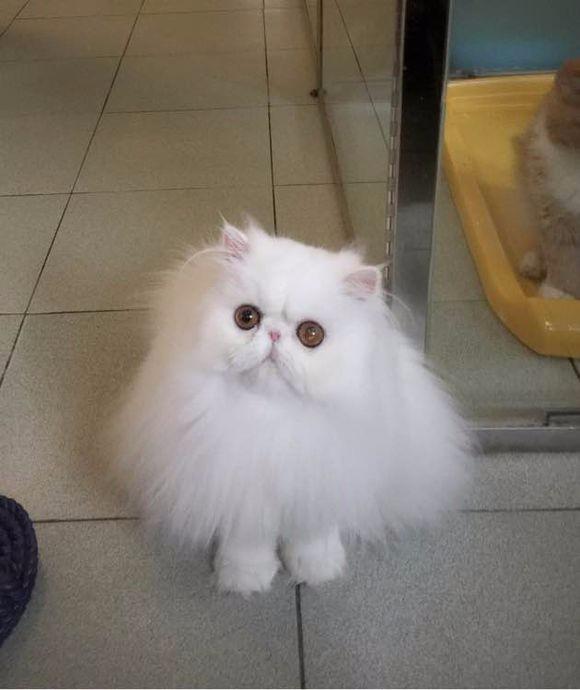 温州哪里有加菲猫卖 自家繁殖 品相极佳 多只可挑