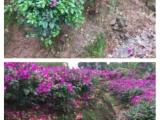 基地直销四川宜宾红花三角梅 价格实在 专业种植三角梅