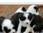 出售自家养的纯种边境牧羊犬幼犬 包健康 实物拍摄