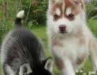 出售纯种哈士奇幼犬,三把火双蓝眼,纯种健康公母都有