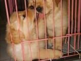 美系大头大脑宽嘴带血统的金毛幼犬出售,保健康品质美