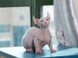 斯芬克斯 矮脚精灵母 纯白蓝眼 加拿大无毛猫芭比诺卷耳