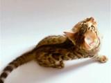 宁夏银川纯种双血统豹猫幼崽怎么卖