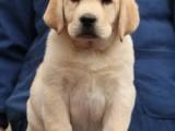 佛山哪里有卖拉布拉多犬 健康纯种拉布拉多出售 包签协议送用品