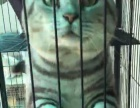 家养纯种英国短毛猫标准虎斑纹 体格大