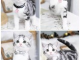 河源美短 蓝白 布偶猫舍地址 全国发货 也可视频挑选