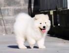 体型大骨架 品质保证 雪白天使萨摩耶雪橇犬 直销