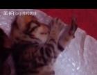 金色孟加拉豹猫满月开始预定