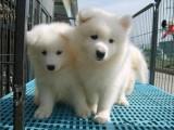 萨摩耶幼犬出售 多只可选 纯种健康已打疫苗
