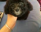 购宠无忧 最大的泰迪犬基地出售超萌韩系小体泰迪 完美售后